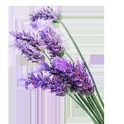 key-lavendar